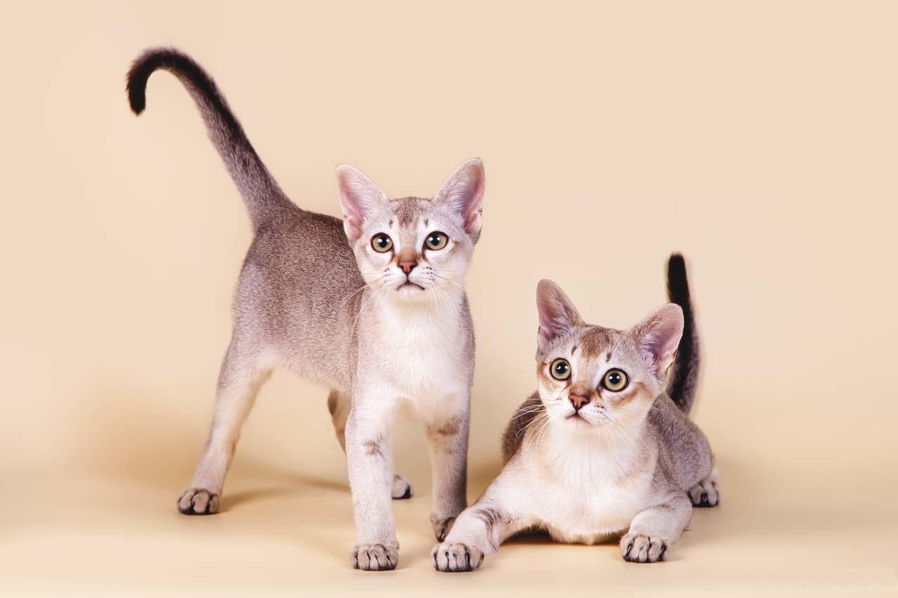 ТОП-5 пород кошек, которые подойдут для спокойных людей