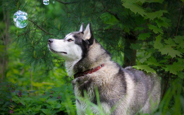 Собака хаскі знайшла в лісі покинутих кошенят: те, що відбулося далі, змушує здригнутися - today.ua