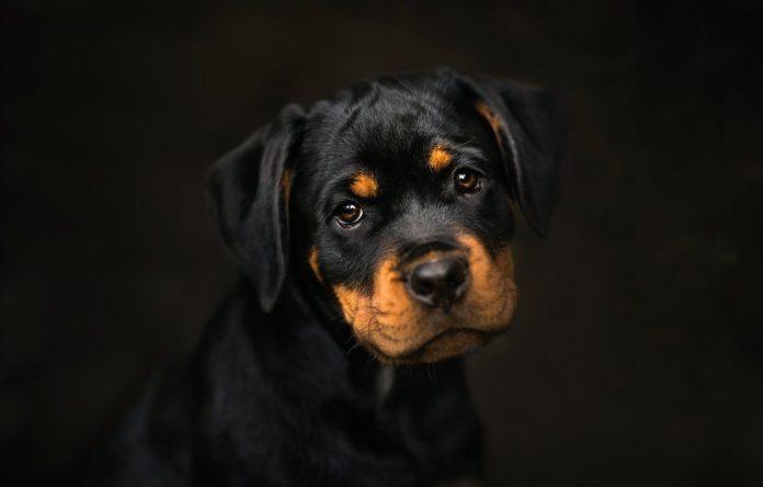 ТОП-3 непредсказуемых и агрессивных пород собак, способных напасть даже на хозяина - today.ua