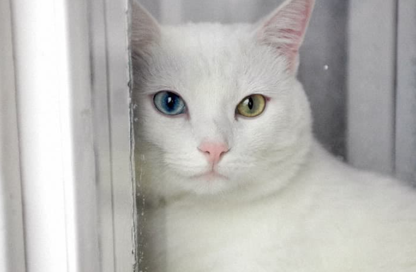 ТОП-5 найкрасивіших порід кішок з білим забарвленням