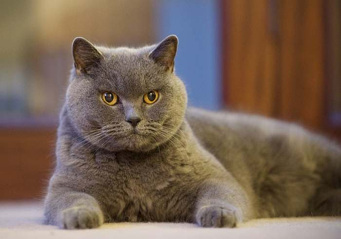Настоящие хищники: ТОП-5 злых и агрессивных пород кошек