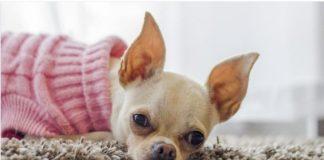 ТОП-3 породи собак, яких не варто заводити сім'ям з дітьми - today.ua