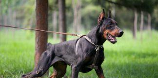 """Потрібно дресирувати: ТОП-5 порід собак, які без правильного виховання можуть стати агресивними """" - today.ua"""
