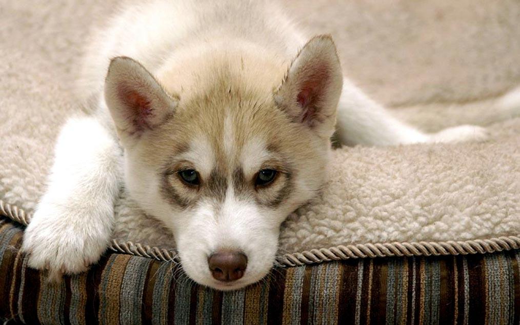 Хаскі розніс квартиру на частини: що побачили господарі собаки, прийшовши додому - today.ua
