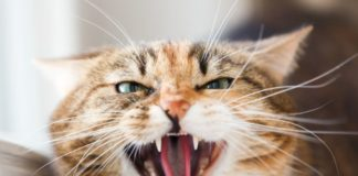 Справжні хижаки: ТОП-5 злих і агресивних порід кішок - today.ua