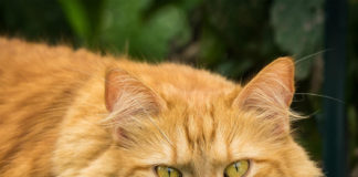 """Сильні алергіки: ТОП-3 породи кішок, які можуть бути небезпечними для здоров'я"""" - today.ua"""