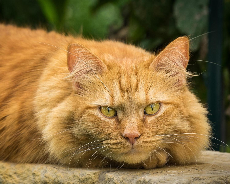 Сильные аллергики: ТОП-3 породы кошек, которые могут быть опасными для здоровья - today.ua