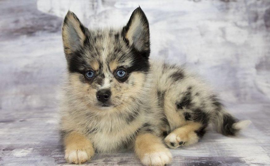 ТОП-5 гібридних порід собак з унікальною зовнішністю
