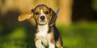 """Талісмани удачі: ТОП-5 порід собак, які зроблять своїх господарів щасливими та успішними"""" - today.ua"""