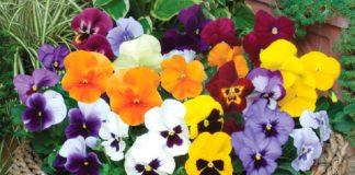 Свято 9 травня: для кого цвітуть фіалки в день Глафіри Горошниці - today.ua