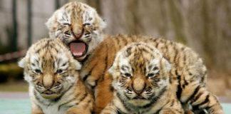 """У Китаї хлопець купив тигро-собаку, але пізніше виявилося, що це зовсім інший звір"""" - today.ua"""