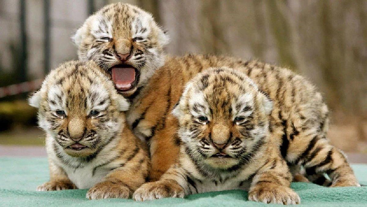 У Китаї хлопець купив тигро-собаку, але пізніше виявилося, що це зовсім інший звір - today.ua
