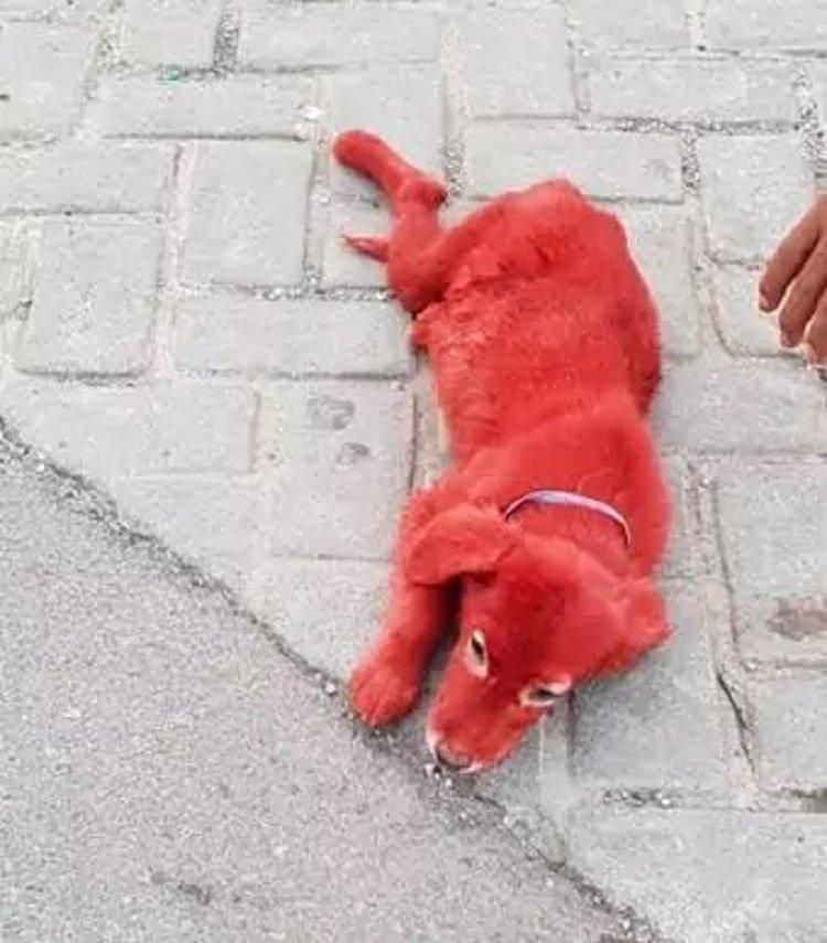 Чоловік купив незвичайне червоне цуценя: він був в шоці, коли дізнався правду про собаку