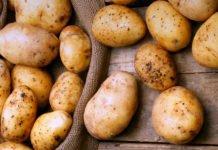 Молода картопля може бути небезпечною для здоров'я: кому краще відмовитись від сезонного овоча - today.ua
