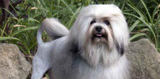 """Найдорожчі собаки в світі: Топ-3 породи, які оцінюють в тисячі доларів"""" - today.ua"""
