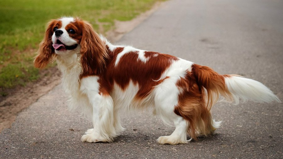 Самые дорогие собаки в мире: Топ-3 породы, которых оценивают в тысячи долларов