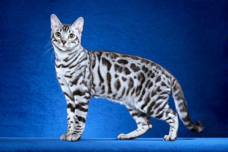 Модные, но противные: ТОП-5 самых привередливых пород кошек