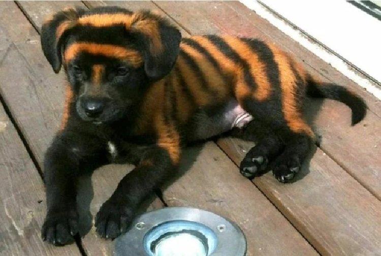У Китаї хлопець купив тигро-собаку, але пізніше виявилося, що це зовсім інший звір
