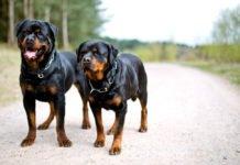 Найкращі захисники та охоронці: ТОП-5 найсильніших порід собак - today.ua