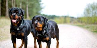 """Найкращі захисники та охоронці: ТОП-5 найсильніших порід собак"""" - today.ua"""