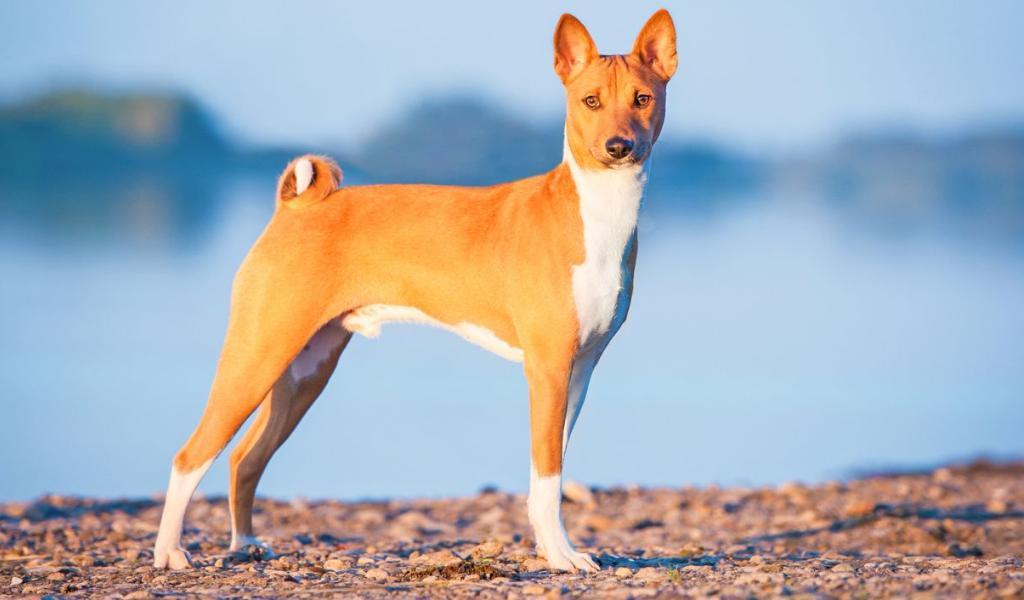 ТОП-3 породы собак, которые не вызывают аллергию
