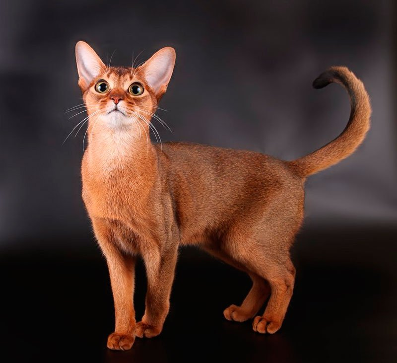 Верные, как собаки: ТОП-5 самых преданных пород кошек