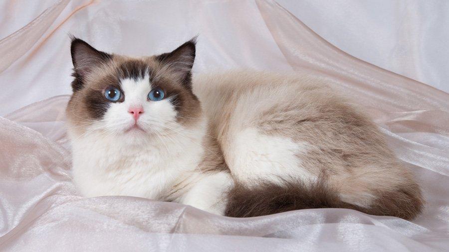 Кішки, схожі на собак: які породи відрізняються відданістю