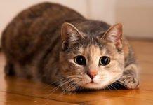Кішки, схожі на собак: які породи відрізняються відданістю - today.ua