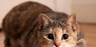 Кошки, похожие на собак: какие породы отличаются преданностью - today.ua