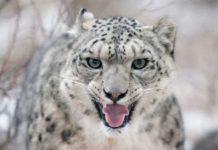 На межі зникнення: які породи кішок можуть піти у забуття - today.ua