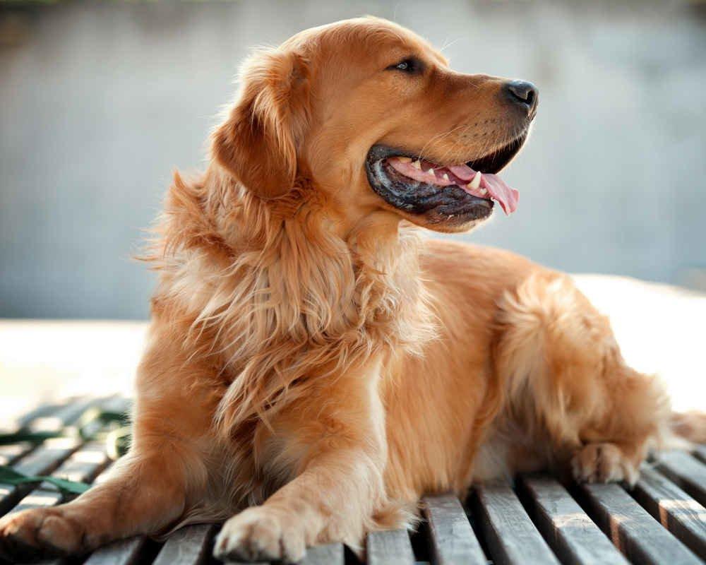 ТОП-5 пород собак, которые склонны к набору лишнего веса