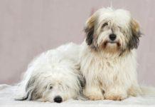 М'які і пухнасті: ТОП-3 плюшевих порід собак - today.ua