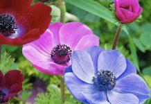 Удивительная красота в Карпатах: на склонах гор впервые массово расцвели редкие цветы анемоны - today.ua