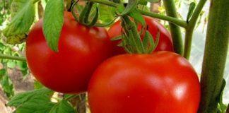 В Україні впали ціни на помідори: що призвело до здешевлення овочів - today.ua