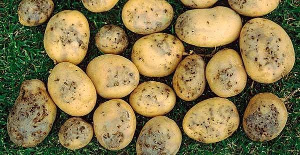 В Украину завезли импортный картофель с гусеницами в клубнях: мало нам колорадского жука