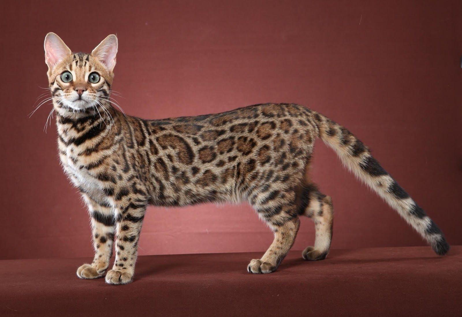 Топ-3 самых здоровых пород кошек: усатые питомцы с самым крепким иммунитетом