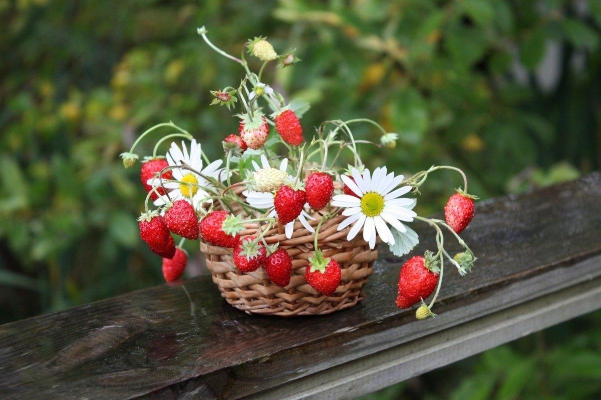 Праздник 9 июля: на Давида ягоды и листья земляники становятся целебными