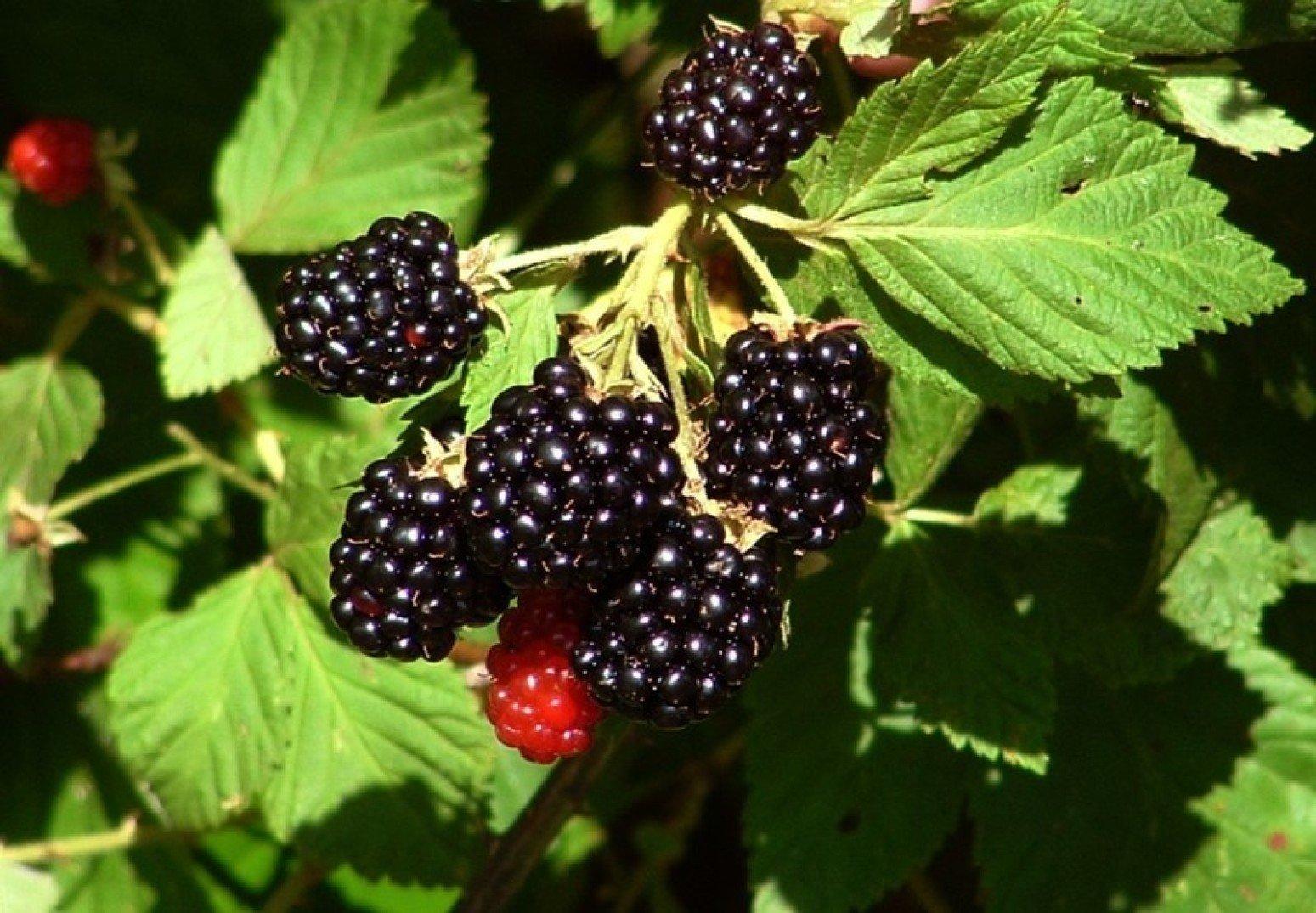 Ежевика – неоценимая польза для здоровья: Топ-6 причин введения ягоды в рацион