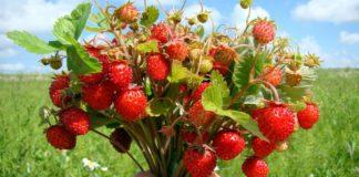 """Свято 9 липня: на Давида ягоди та листя суниці стають цілющими"""" - today.ua"""