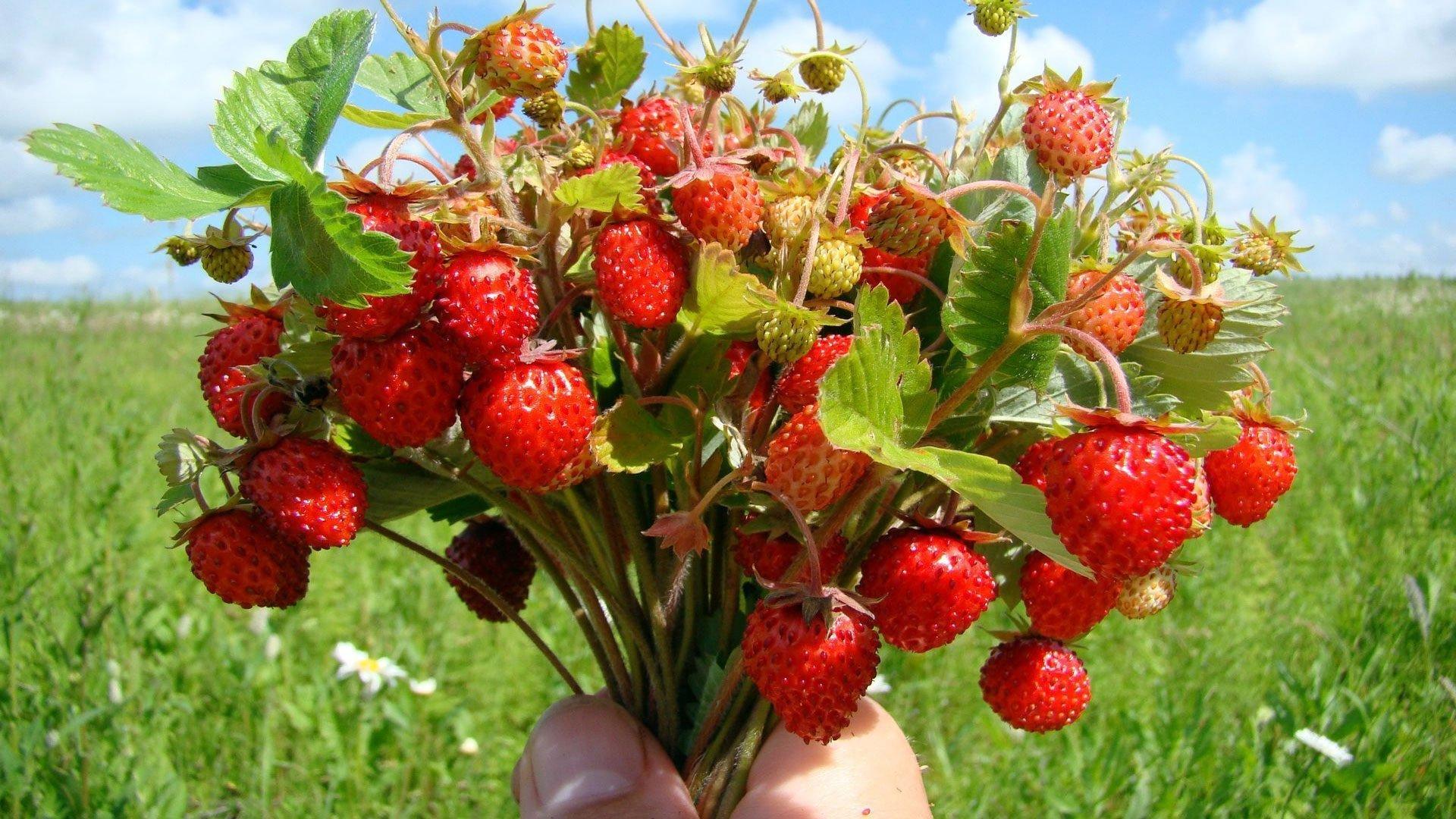 Свято 9 липня: на Давида ягоди та листя суниці стають цілющими - today.ua