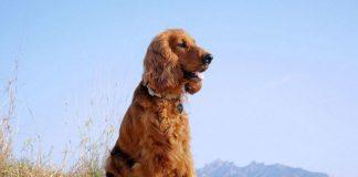 """ТОП-3 породи собак з довгими вухами: вимагають підвищеної уваги """" - today.ua"""