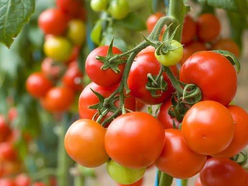 В Украине цены на помидоры выше, чем в Европе: аграрии назвали причину