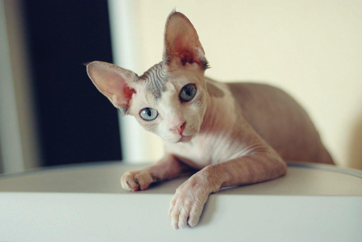 Найласкавіші кішки в світі: Топ-3 добродушних і відданих порід