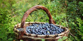 """Чорниця може бути небезпечна для здоров'я: медики розповіли про користь і шкоду ягоди """" - today.ua"""
