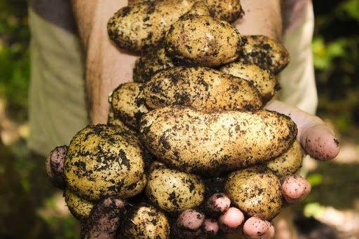 В Україні різко подешевшала картопля: експерти назвали причину