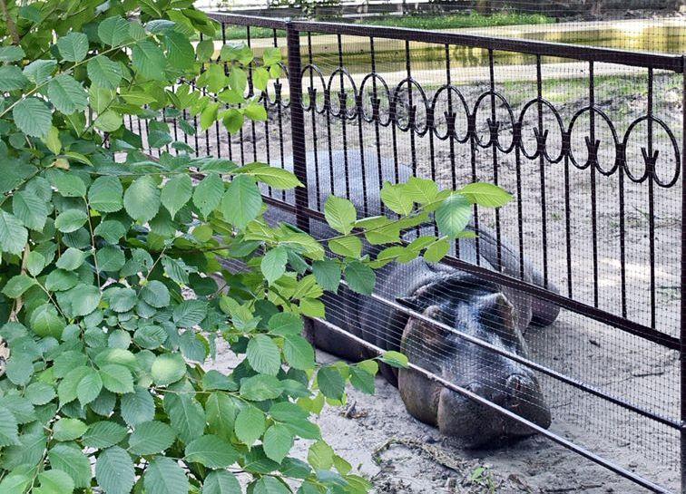 У Київському зоопарку відвідувачі перегодували бегемотиху: бідолаха мало не померла