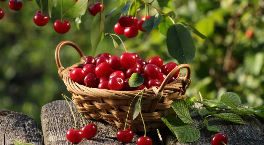 Вишня может быть полезной и одновременно опасной: что нужно знать о ягоде мужчинам и женщинам - today.ua