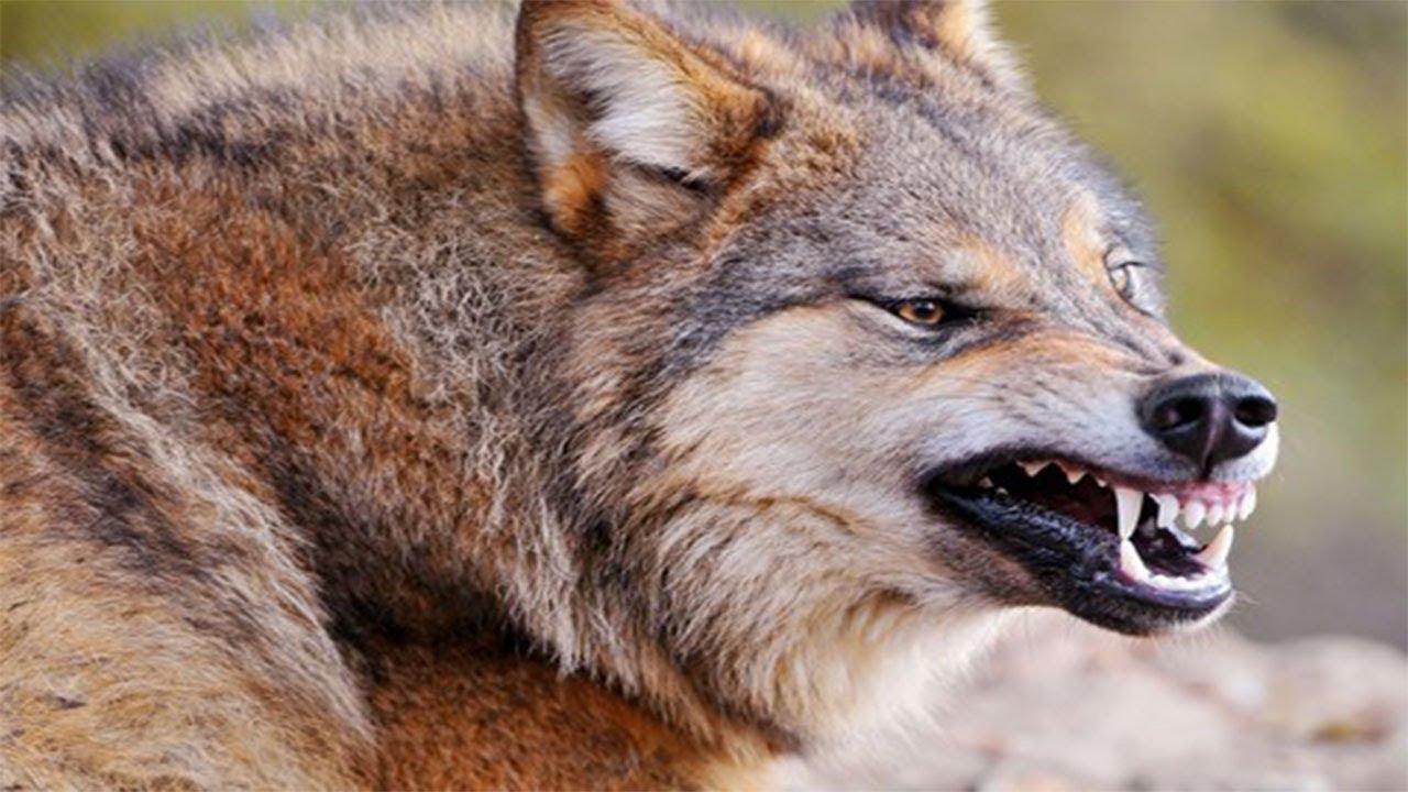 На Луганщине волки-людоеды стали нападать на местных жителей: есть жертвы - today.ua