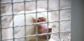 """Директор Одесского зоопарка рассказал, как опасны павианы, сбежавшие из вольера: """"Крупные и агрессивные"""" - today.ua"""