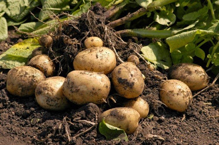 В Украине подорожает картофель: предупреждение экономического эксперта
